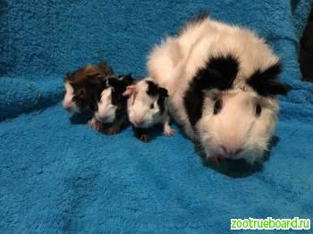 Абиссинские морские свинки