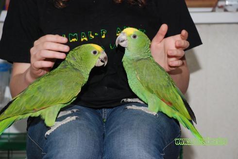 Амазон – разные виды – птенцы выкормыши