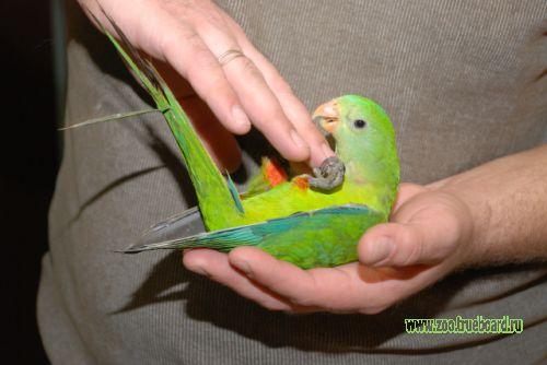 Барабантовые попугаи