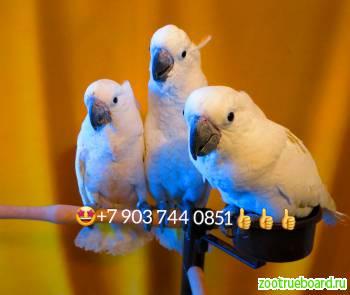 Белохохлый какаду (Cacatua alba)   ручные птенцы из питомников Европы