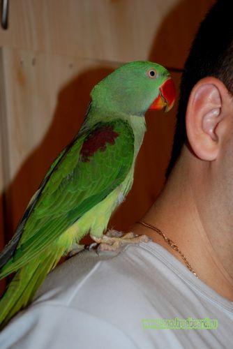 Большой кольчатый попугай