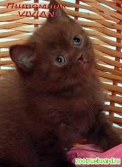 Британские шоколадные котята  из питомника VIVIAN.