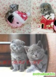 Шотландские котята нереальной красоты