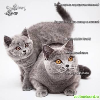 Голубые британские котята из питомника Silvery Snow