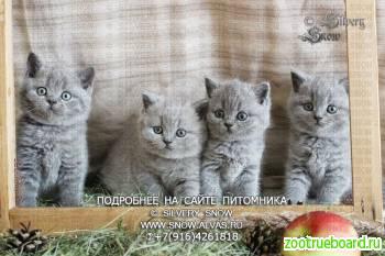 Голубые плюшевые британские котята.