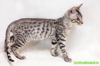 Котенок редкой породы - Саванна