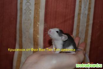 Крысята декоративные разного окраса.