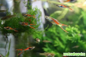 Аквариумные рыбки Гуппи (Самки)