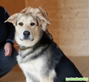 Атос - самый умный щенок ищет дом