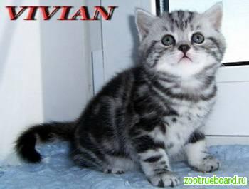 Британские  клубные котята вискас из питомника
