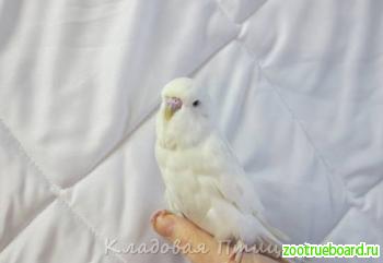 Чехи -волнистые попугаи