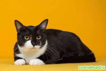 Черно-белая кошечка Жужа ищет дом и заботливых хозяев.