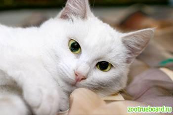Ищет дом белоснежная кошка Муся,  ласковая и трогательная.