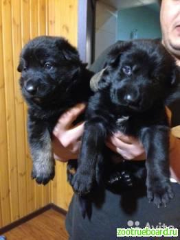 Клеймение щенков крупных и средних пород в Чехове