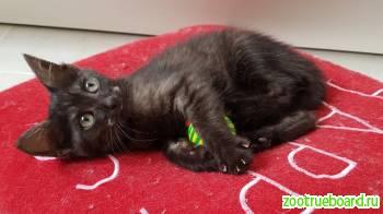 Котенок Чаки с уникальным дымчато-черным окрасом ищет свой дом.