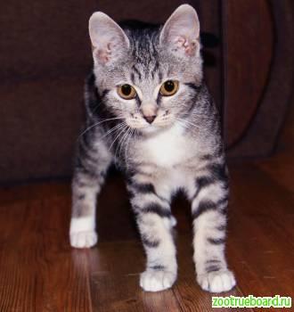 Котенок Люкса в добрые руки