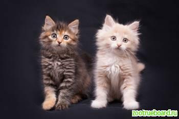 Котята Сливка и Тыковка
