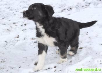 Мальчик-дворянин,  щенок по имени Уно,  2 месяца.