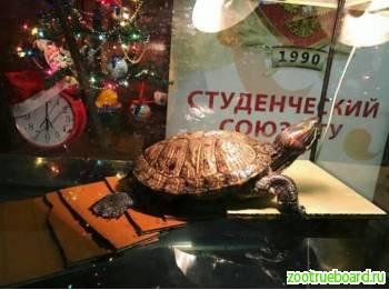 Милая черепашка Чапа ищет новый дом!