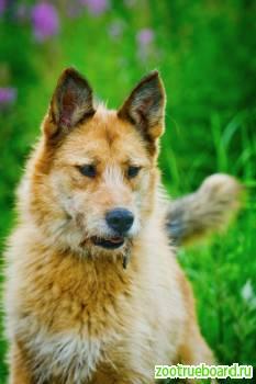 Молодой пёс Тоби ищет дом.  Собака в дар