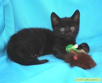 Отдам маленького Черного котенка