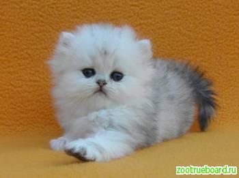 Персидские котята серебристая и золотая шиншилла