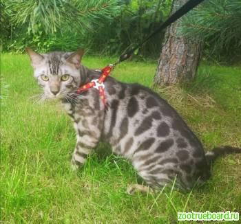 Предлагается для вязки Бенгальский кот