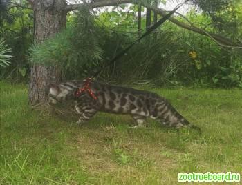 Предлагаю для вязки кота породы Бенгал