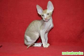 Роскошные котята Корниш рекса из питомника (различные окрасы)