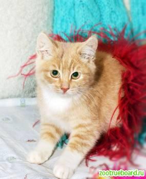 Рыженький котенок Цитрон - сплошное очарование.