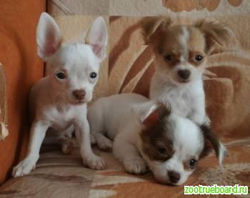 Щенки чихуа-хуа,  мини чишки - два мальчишки,  и лапочка-дочка,  РКФ.