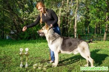 Щенки восточноевропейской овчарки