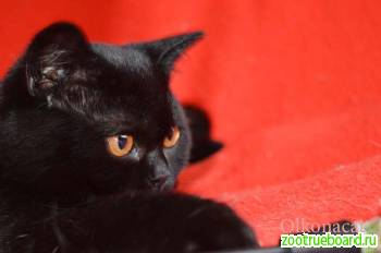 Шотландские котята чисто черного окраса.