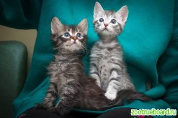 Усато-полосатая банда котят «острые коготки» готовятся к похищению ваших сердец!