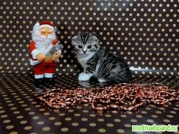 Вислоушки и прямоушки-кошечки и котики
