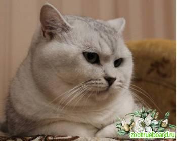Вязка-Британский серебристый с зелёными глазами кот