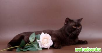 Вязка-Британский  шоколадный  кот-Чемпион