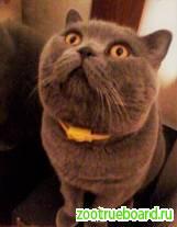 Вязка :   Опытный Шотландский  кот - Красавец  Прямоухий на вязку