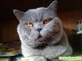 Вязка :  Шотландский Красавец - кот с опытом