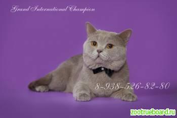 Вязка с Британским котом-Чемпионом