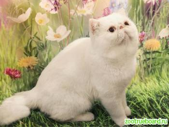 Вязка с экзотическим клубным котом.