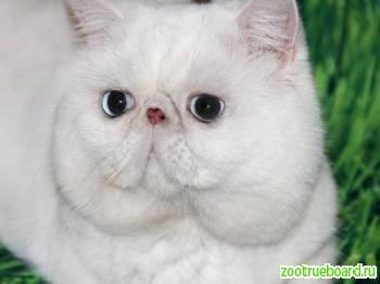 Вязка с экзотическим котом.