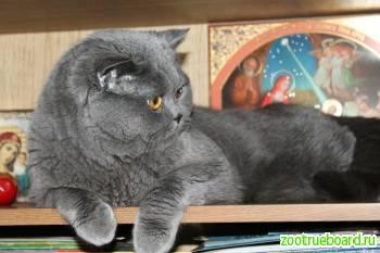 Вязка с Шотландским опытным котом.  Скоттиш-страйт.  Родословная