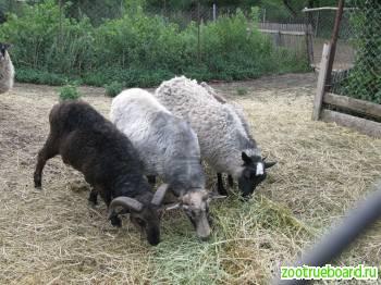 Продам овец,  баранов и ягнят романовской породы