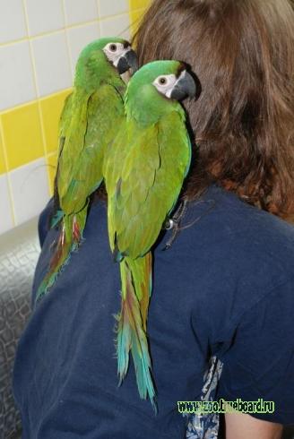 Попугай Ара – ручные птенцы выкормыши – разные виды