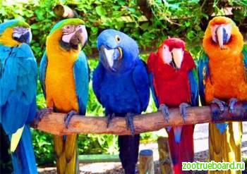 продается попугай сине желтый ара