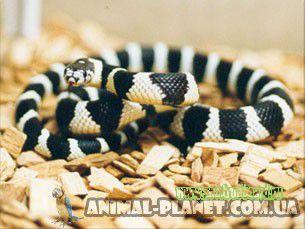 Ручные рептилии.   Неядовитые змеи