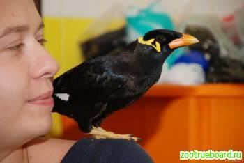 Шикарная экзотическая птица - Индийская Священная Майна