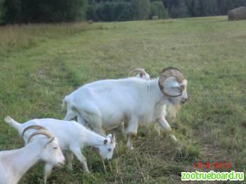 СРОЧНО продаю несколько красивых белоснежных коз разного возраста