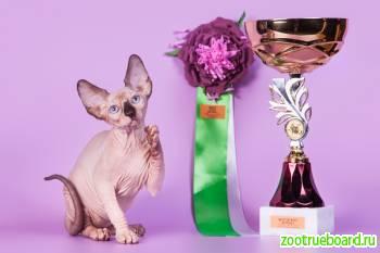 Сфинксы котята-пойнты и другие редкие окрасы.